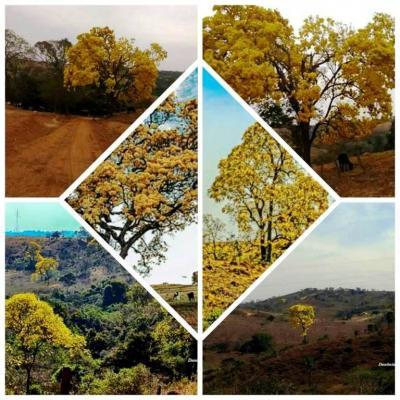 Ipês e outras  árvores da região do cerrado florescem anunciando a transição do inverno para a primavera