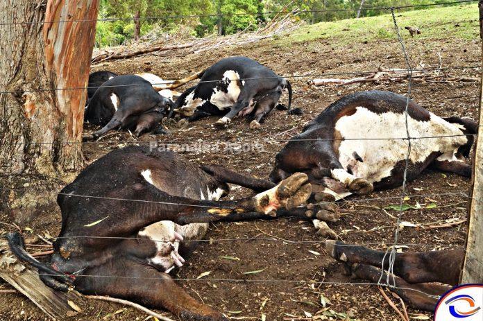 Vacas morrem eletrocutadas em Rio Paranaíba e família faz denúncia de descaso da Cemig