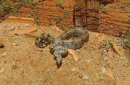 Em defesa dos animais: moradores de Lagoa Formosa capturam cobra e libertam o animal em habitat natural