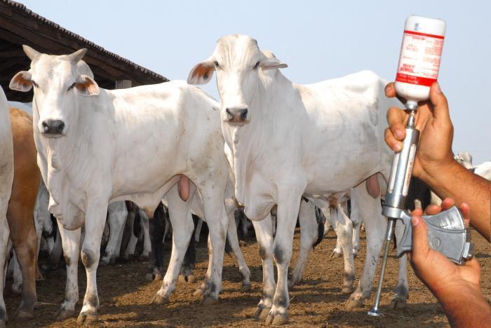 Vacinação de bovinos e búfalos contra a febre aftosa começa dia 1º de maio