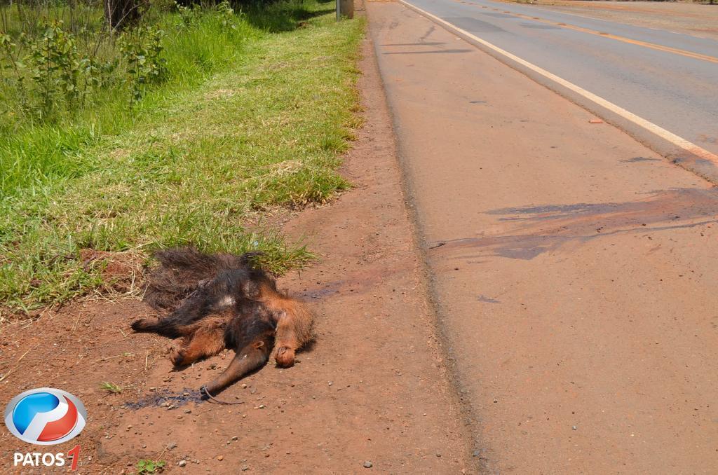 Aumenta o número de animais silvestres atropelados e mortos na BR-354 no Alto Paranaíba