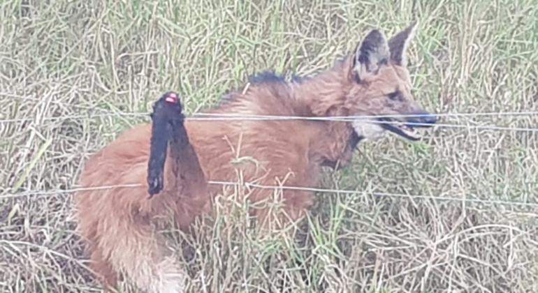 Lobo-guará é capturado pela Polícia Militar de Meio Ambiente após ficar preso em cerca de fazenda