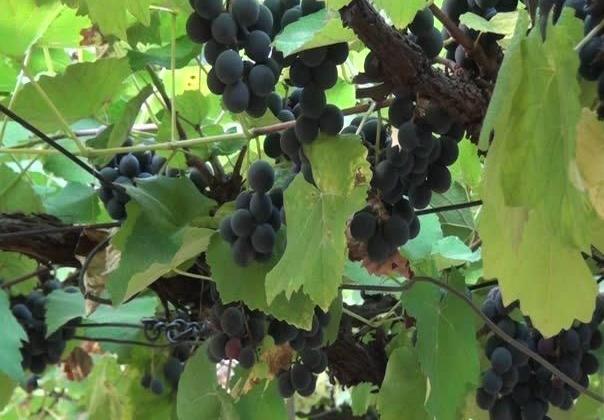 Em Patos de Minas mulheres cultivam uvas no Centro da cidade e doam frutas e mudas