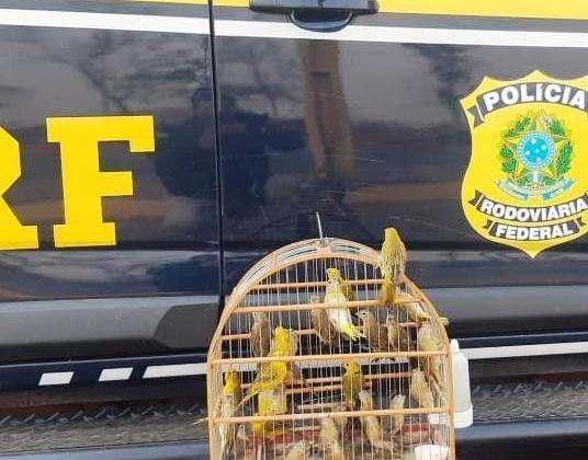 26 pássaros silvestres são apreendido pela PRF na BR-365
